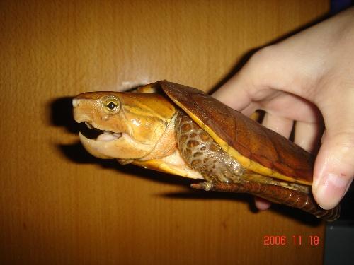 鹰嘴龟是一种栖息于山区溪流的小型龟种,分布范围遍及中南半岛诸国和