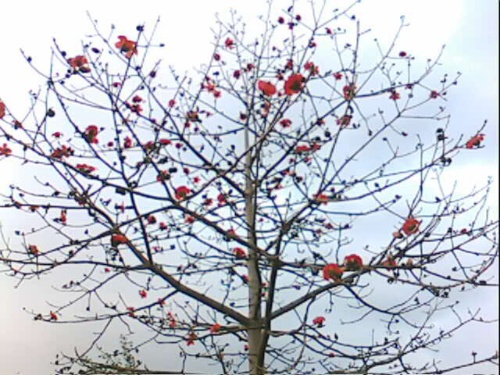 木棉树的夏天,像棉花一样的雪球满天飞