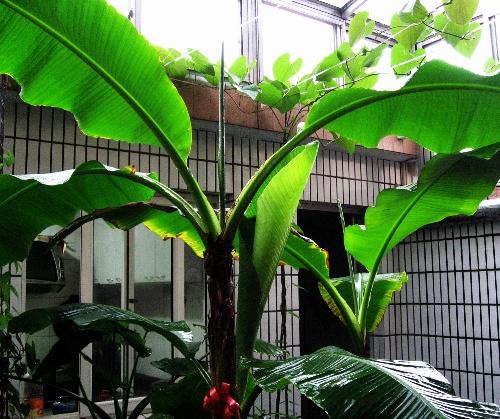 一直以来,就喜欢芭蕉树,不仅喜欢芭蕉树杆的挺拔 ...