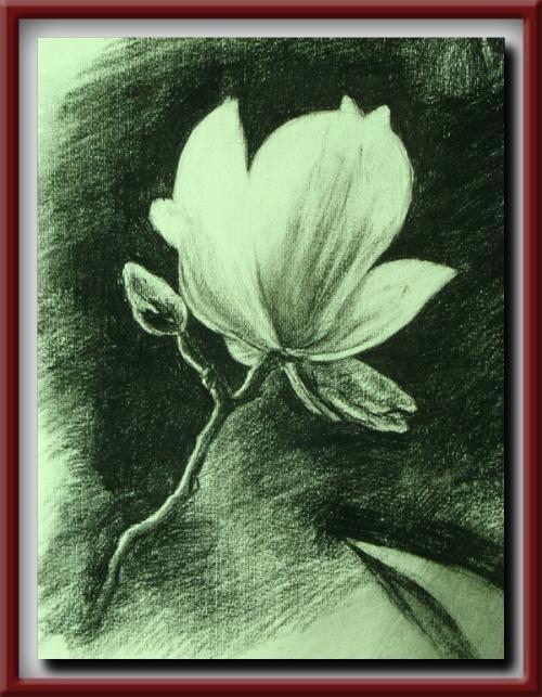 碳笔素描-----玉兰花