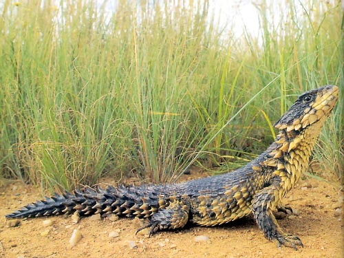 棘刺尾蜥_巨型环尾蜥Cordylus giganteus -鯋羅樹 - 精靈樂章-搜狐博客