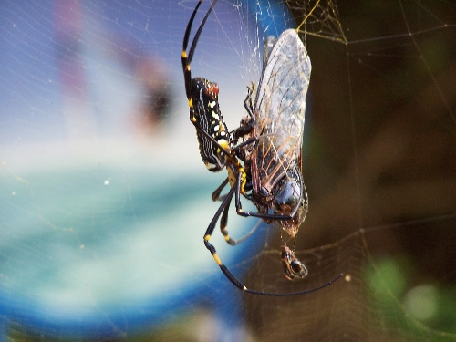 东澳岛上骇人的大蜘蛛