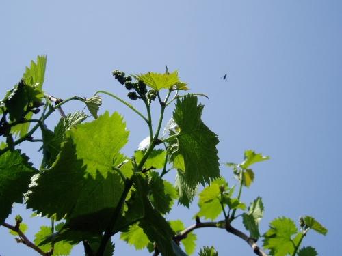 种植三年的葡萄树